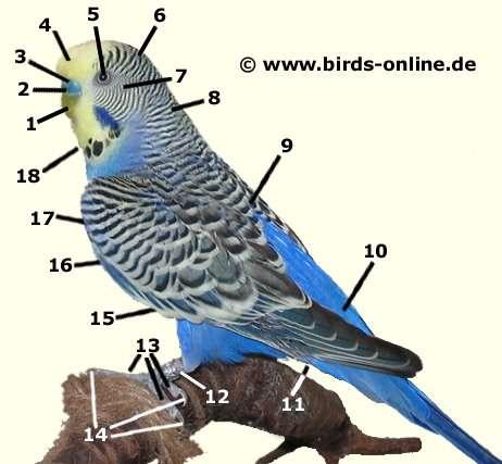 Anatomie der Wellensittiche - Vogelgesundheit - Birds Online