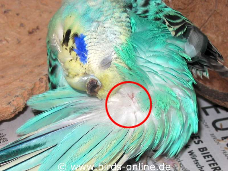 budgie anatomy rump health and diseases birds online