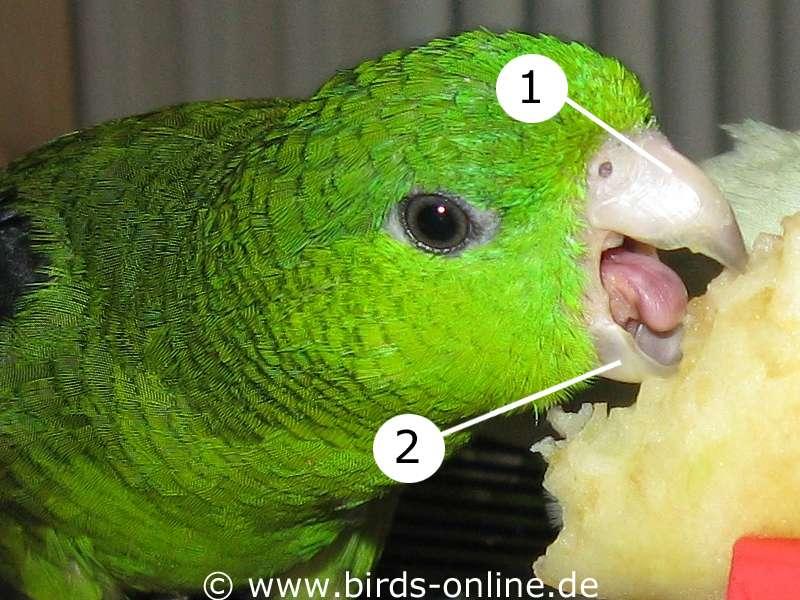 Anatomie der Wellensittiche: Schnabel - Vogelgesundheit - Birds Online