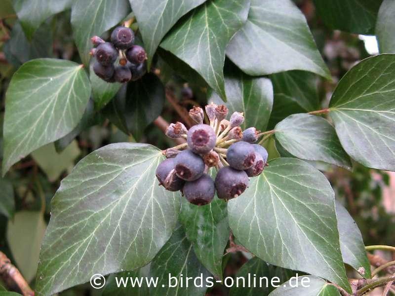 Ungenießbare Beeren Efeu Artgerechte Ernährung Birds Online
