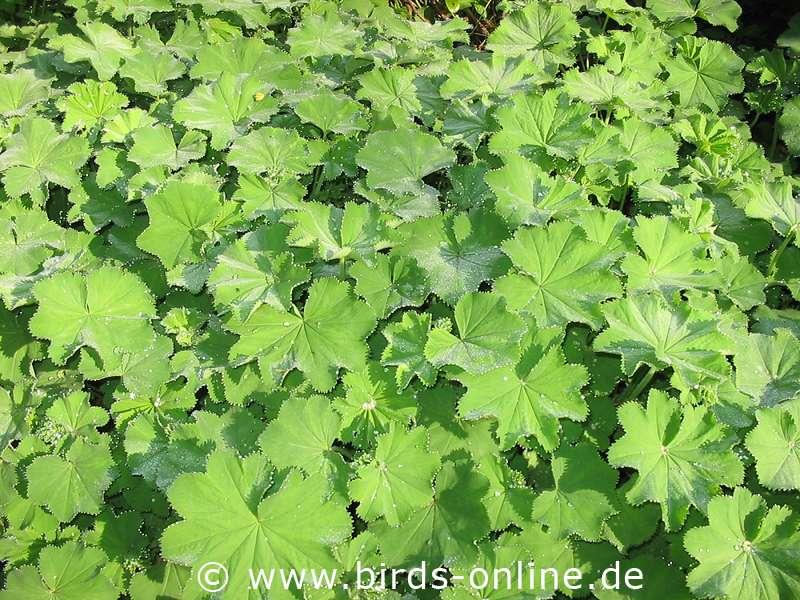frauenmantel pflanze tee